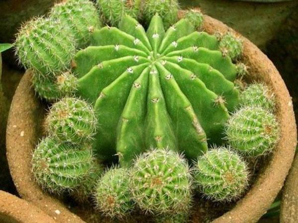 можно рассадить кактус