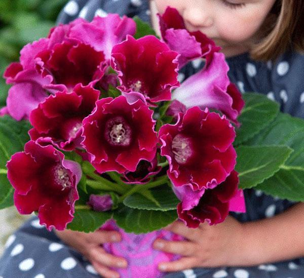 обильное цветение глоксинии