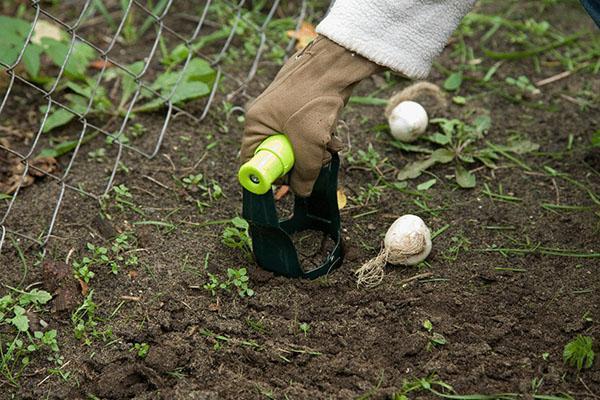 осенняя посадка луковичных