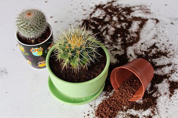 пересадка кактуса в просторный горшок