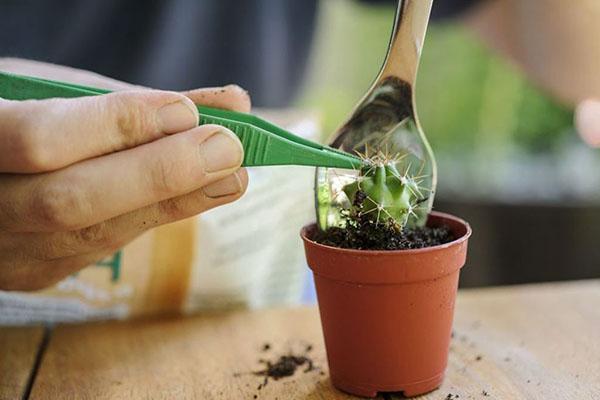 аккуратно пересаживаем кактус