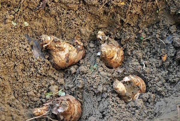 посадка клубней калл садовых в открытый грунт