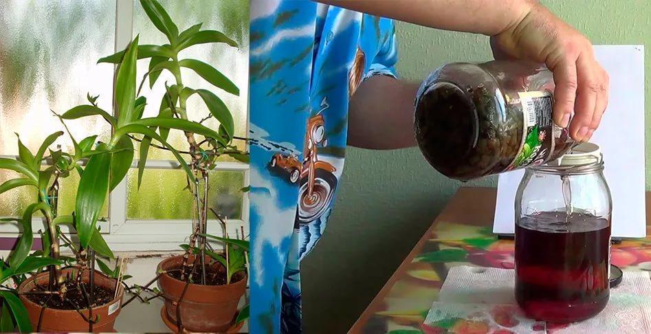 Золотой ус настойка на водке - применение для суставов, из чего делают, от чего помогает, видео