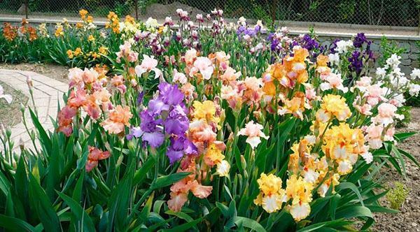 разноцветные ирисы вдоль садовой дорожки