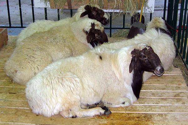 содержание курдючных овец