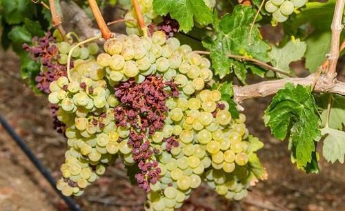 усыхание винограда