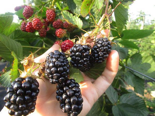 ягоды хорошо переносят транспортировку