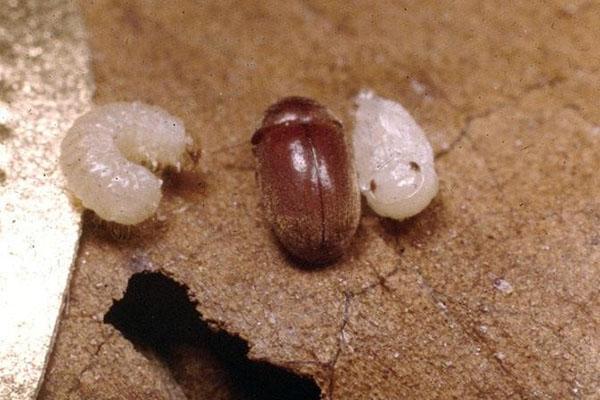 жук точильщик и личинка