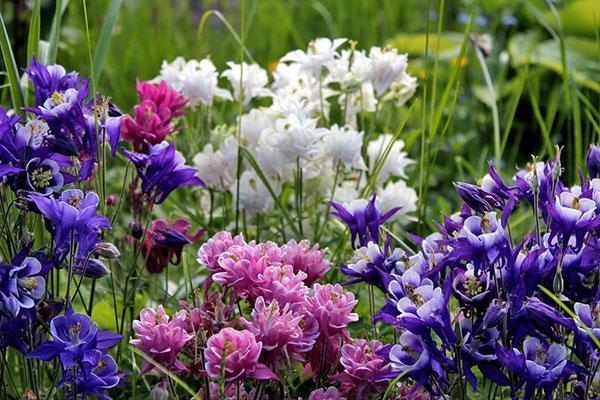 Цветок аквилегия посадка и уход, фото, выращивание из семян 43