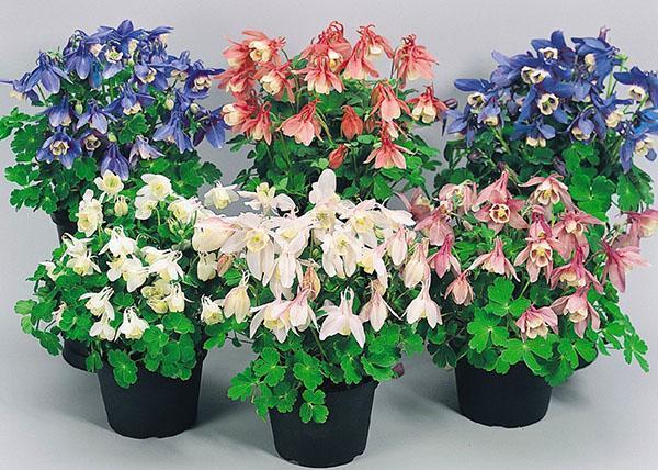 Фото и описание цветов в горшках 32
