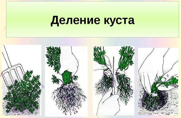 размножение алиссума делением куста