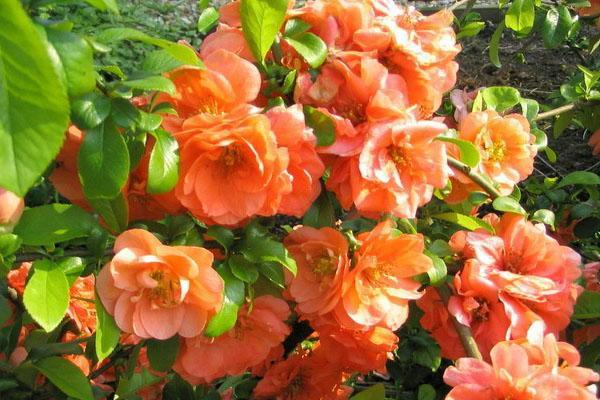 хеномелес в цвету