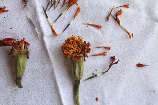 собираем семена бархатцев