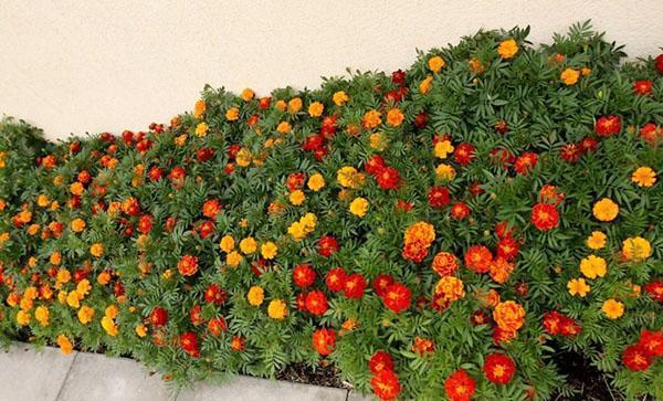 полезные свойства бархатцев для сада и огорода
