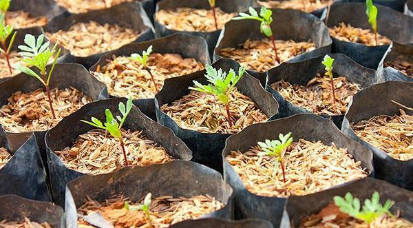 Как вырастить рассаду бархатцев в домашних 792