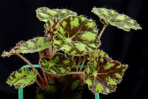 листья бегонии ассиметричной формы