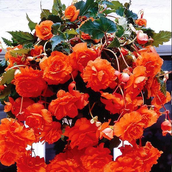 цветет бегония клубневого сорта