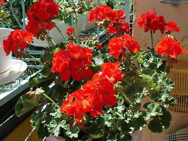 алые цветы кустарниковой бегонии