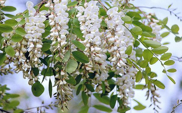 белая акация пышно цветет