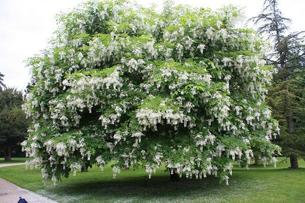 взрослое дерево белой акации