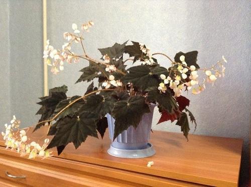цветение клеопатры