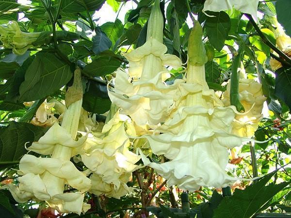 цветет махровая бругмансия
