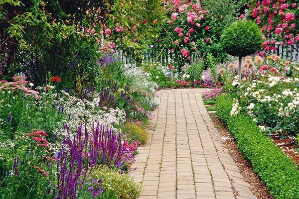 иберис вечнозеленый в саду