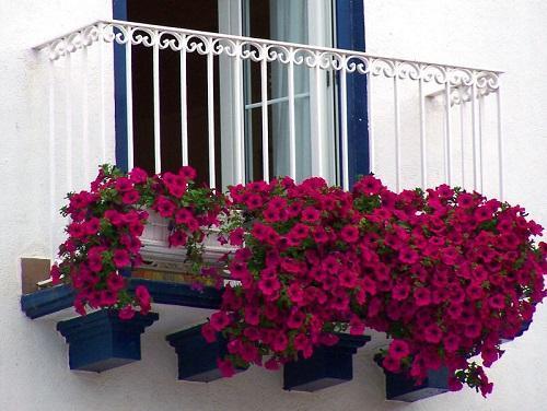 красные петунии на балконе