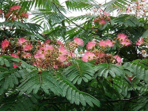 пышные цветы акации ленкоранской