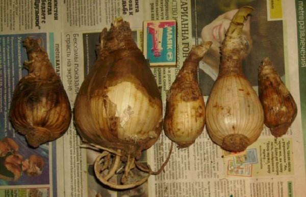 луковицы амариллиса на хранении
