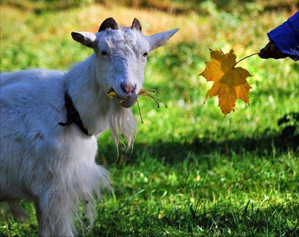 козы на хоздворе