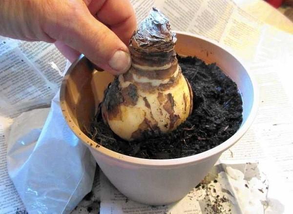 Когда сажать амариллис из луковицы 66