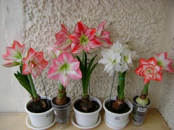 пышное цветение амариллиса