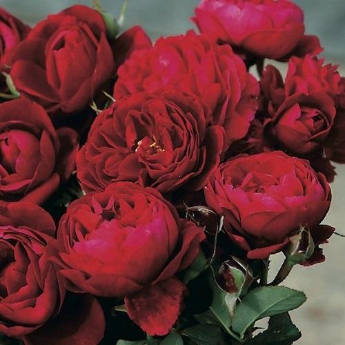 роза галлика официналис