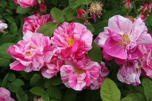 роза галлика версиколор
