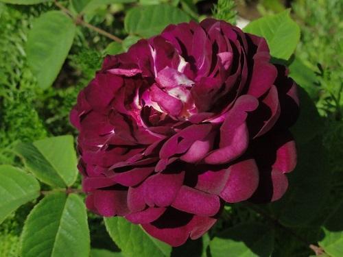 роза кардинал ришелье