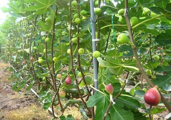 Выращивание инжира в украине в открытом грунте 56