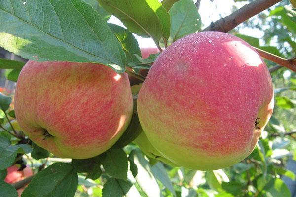 яблоки в саду