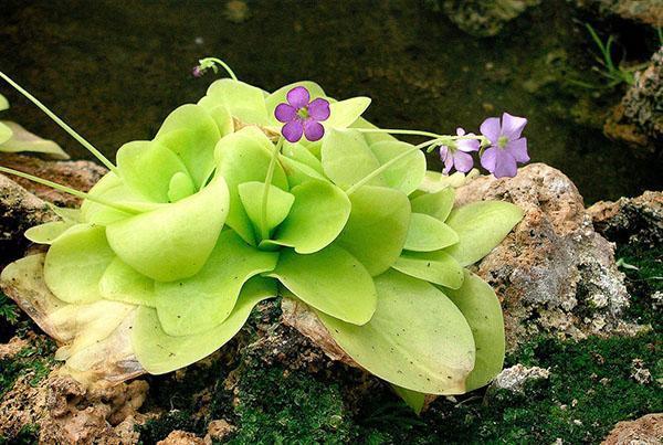 цветет жирянка