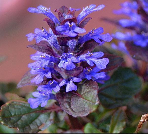 цветение живучки ползучей