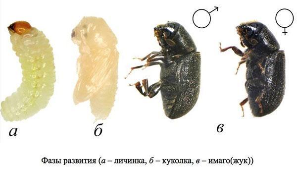 фазы развития жука короеда