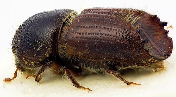 взрослая особь жука короеда