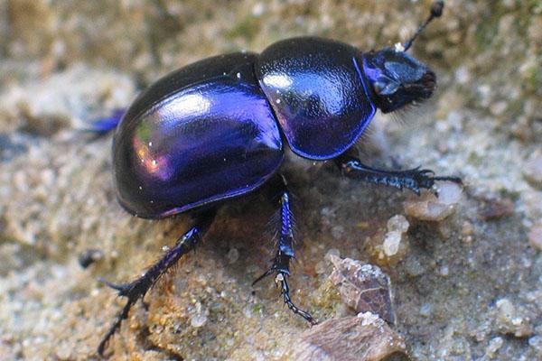 металлический блеск надкрыльев жука навозника