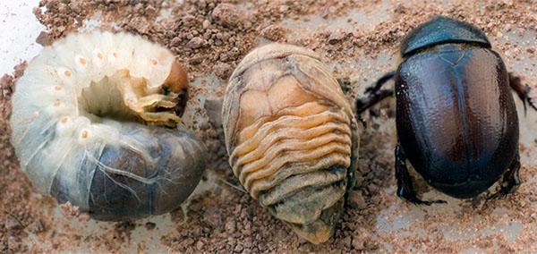 этапы развития жука навозника