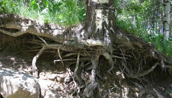 корни березы