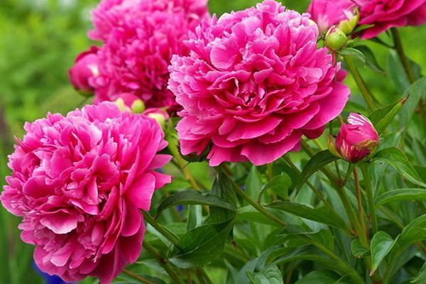 садовые пионы для букетов