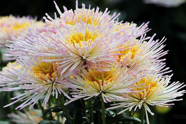 очаровательная хризантема для букетов