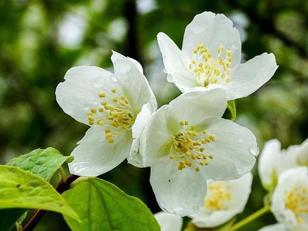 ароматное цветение жасмина