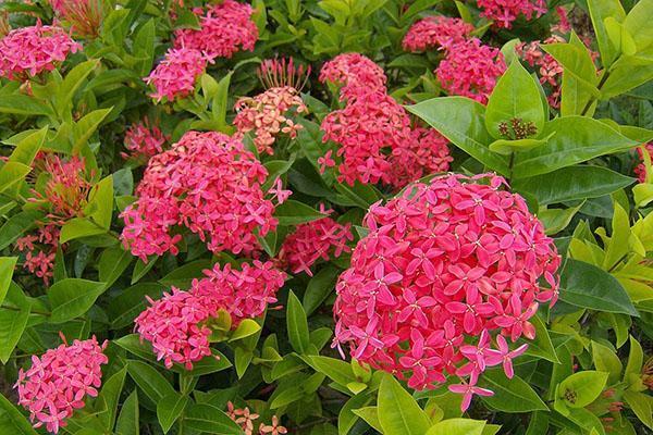 цветение иксоры