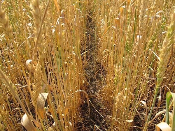 пшеница нуждается в обработке